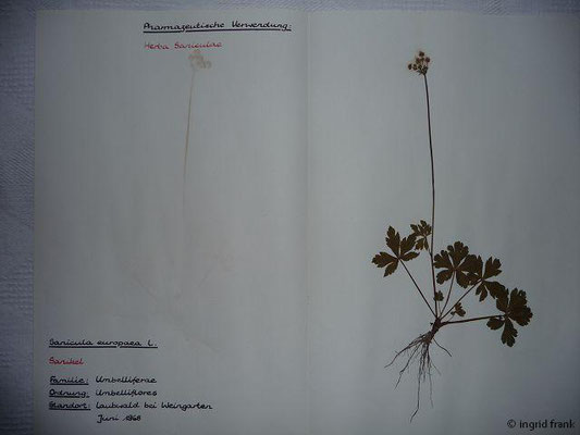 (60) Sanicula europaea - Sanikel