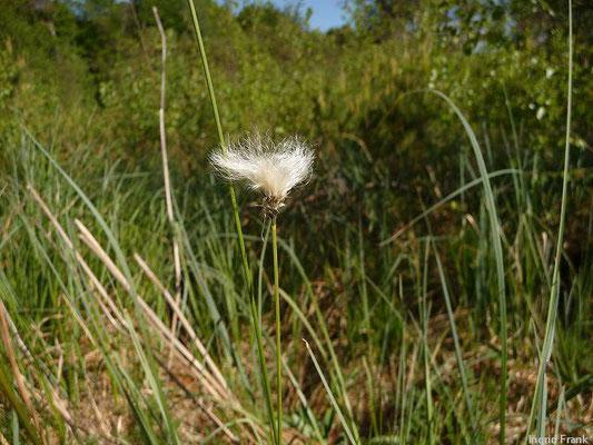 Eriophorum vaginatum / Scheiden-Wollgras
