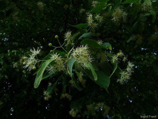 Tilia - Lindenblüte