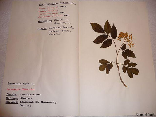(116) Sambucus nigra - Schwarzer Holunder