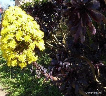 Aeonium arboreum - Baum-Aeonium