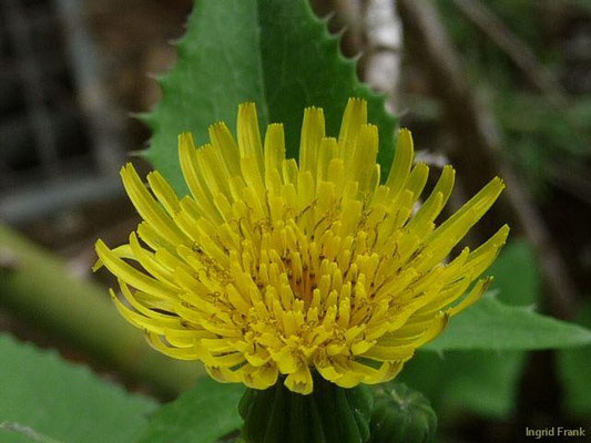 Sonchus oleraceus - Kohl-Gänsedistel