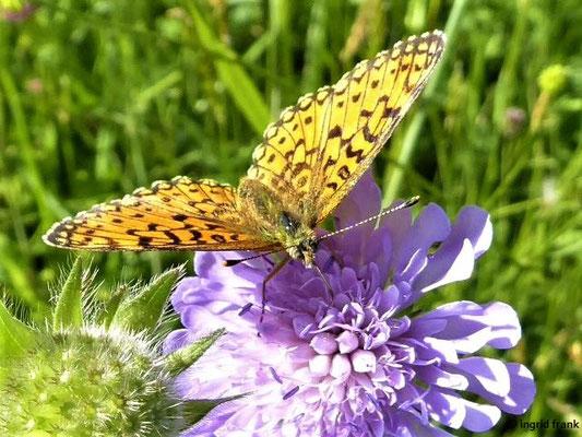 Knautia aarvensis - Acker-Witwenblume