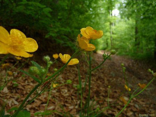 Ranunculus lanuginosus / Wolliger Hahnenfuß    V-VII