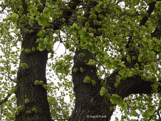 Evt. Ulmus x hollandica - Holländische Ulme an der Uferpromenade Friedrichshafen