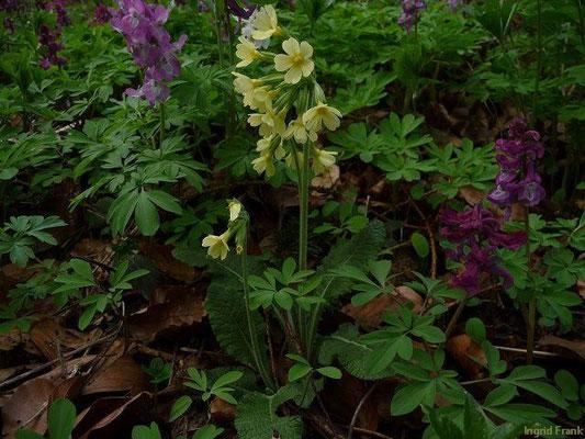 18.04.2010-Primula elatior (Mi.) u. Corydalis cava (li.) - Hohe Schlüssselblume und Hohler Lerchensporn