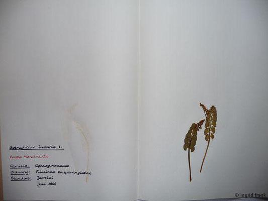 Botrychium lunaria / Echte Mondraute