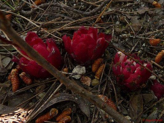 Cytinus ruber - Roter Zistrosenwürger (Griechenland)