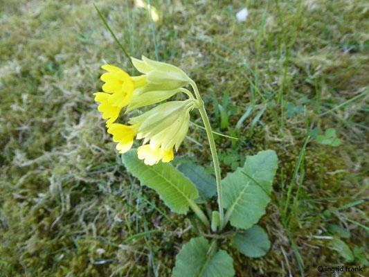 Nibelungenstraße: Primula veris - Wiesen-Schlüsselblume