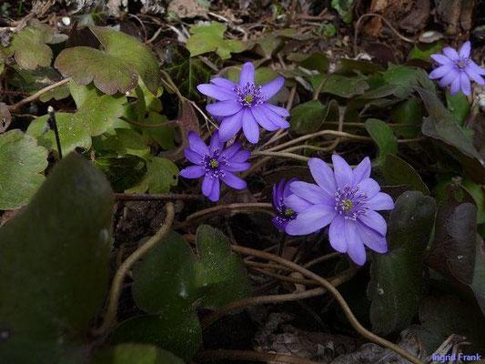 20.03.2010-Hepatica nobilis - Leberblümchen