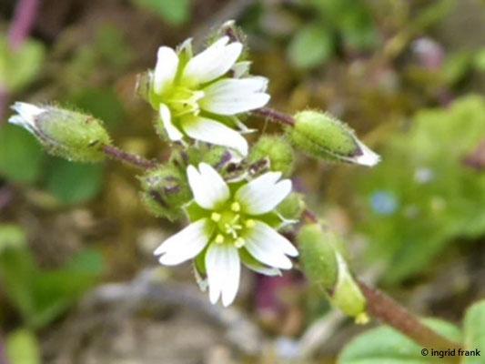 Cerastium semidecandrum / Fünfmänniges Hornkraut