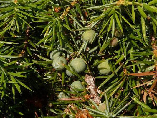 Juniperus communis ssp. communis / Gewöhnlicher Wacholder