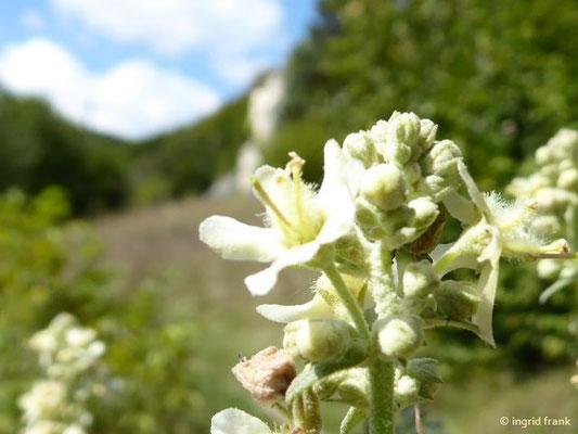 Verbascum lychnitis - Mehlige Königskerze