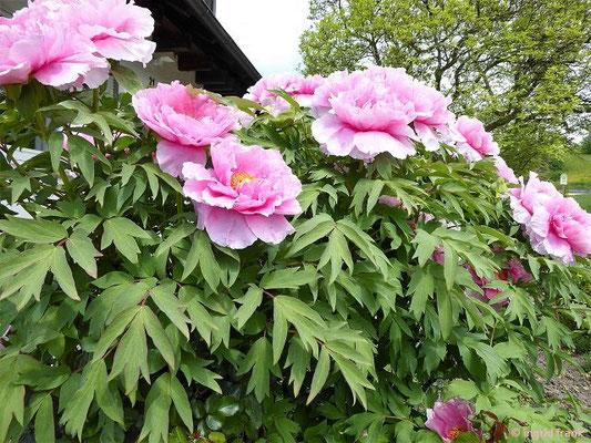 Eine frühblühende Pfingsrose - Paeonia ?