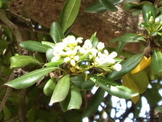 Pittosporum tobira - Chinesischer Klebsame