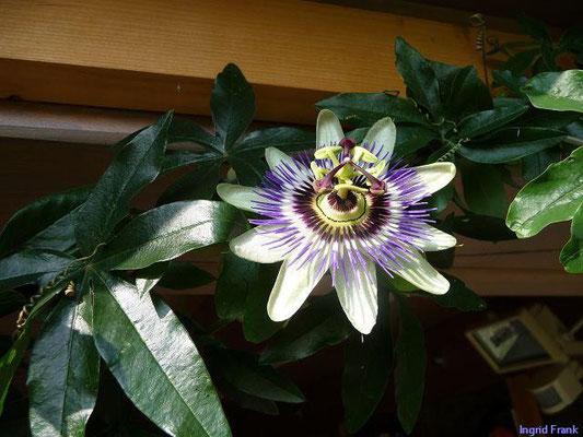 Passiflora incarnata - Passionsblume (Klostergarten)