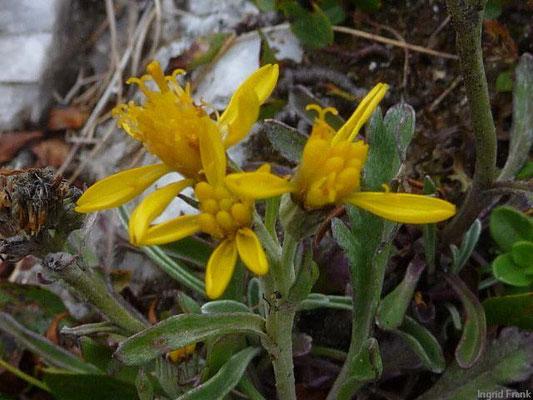 Senecio incanus ssp. carniolicus / Krainer Greiskraut    VII-IX