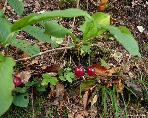 Alpen-Heckenkirsche - Lonicera alpigena