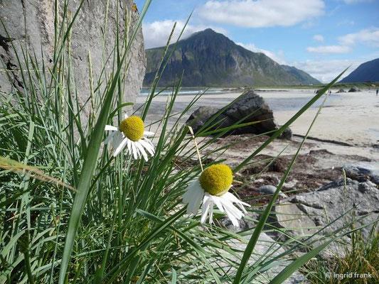 Tripleurospermum maritimum - Echte Strandkamille