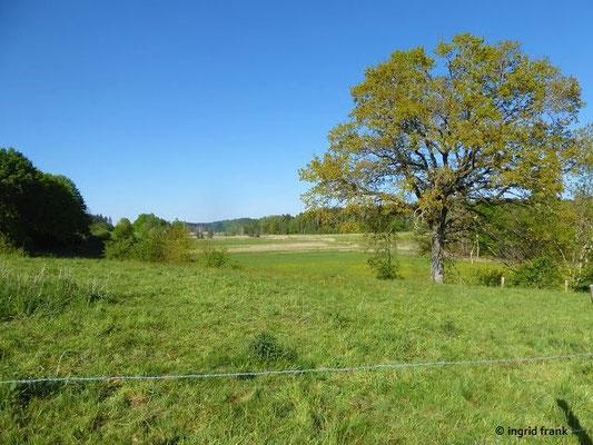 Quercus robur - Stiel-Eiche