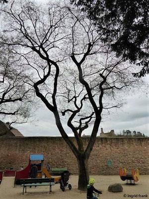 Sophora japonica - Japanischer Schnurbaum