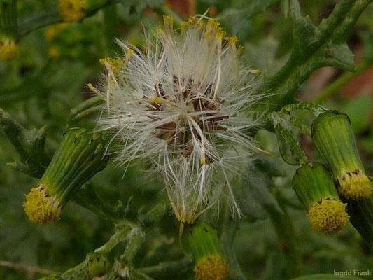Senecio vulgaris / Gewöhnliches Greiskraut    II-XI