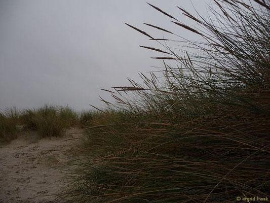 Ammophila arenaria - Gewöhnlicher Strandhafer