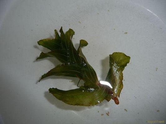 Potamogeton perfoliatus / Durchwachsenes Laichkraut