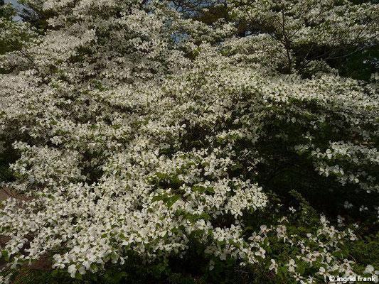 Cornus florida - Blumen-Hartriegel
