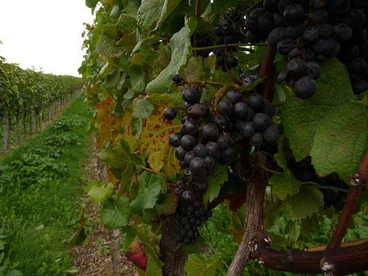 14.10.2012 - Kulturrebe / Vitis vinifera   (Obst, Saft, Wein)