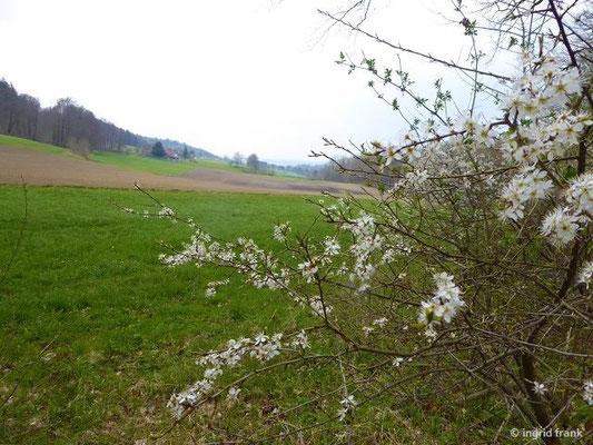 Prunus spinosa - Gewöhnliche Schlehe
