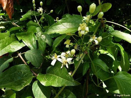 Clematis vitalba - Gewöhnliche Waldrebe