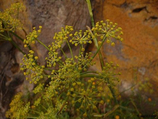 Foeniculum vulgare - Wilder Fenchel