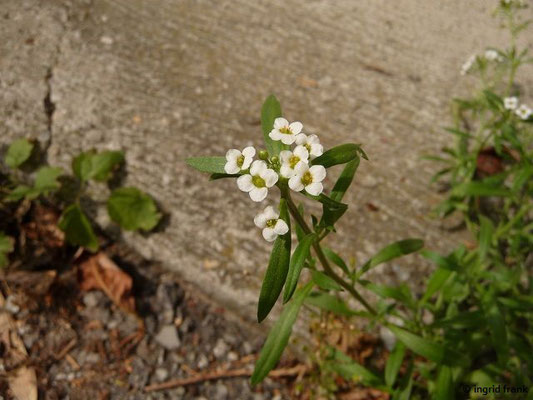 Lobularia maritima - Strand-Silberkraut, Strandkresse