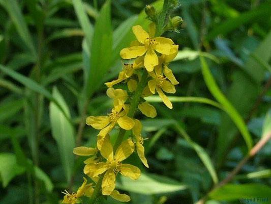 Agrimonia eupatoria - Gewöhnlicher Odermennig