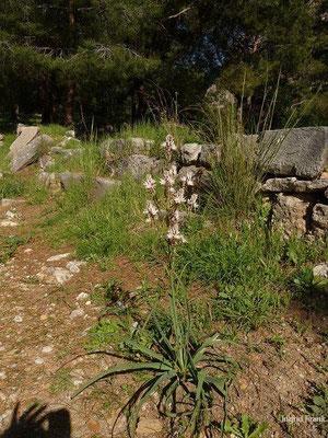 Asphodelus ramosus - Ästiger Affodill