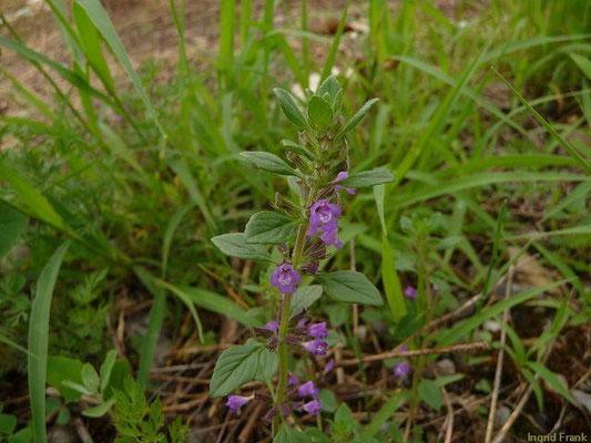03.07.2012-Acinos arvensis - Gewöhnlicher Steinquendel (Bahnareal Ravensburg)