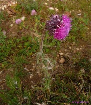 Carduus nutans / Nickende Distel