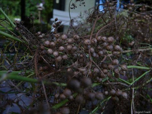 15.08.2010-Coriandrum sativum - Echter Koriander