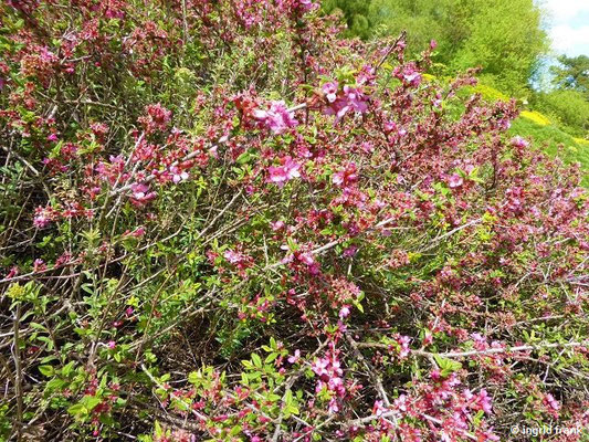 Prunus prostrata - Niederliegende Kirsche    IV-V