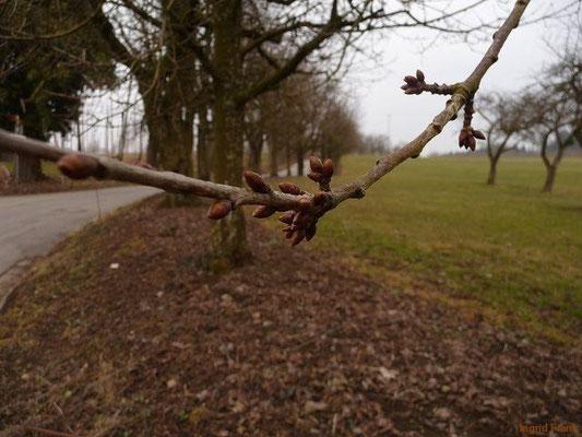 04.03.2012-Prunus avium - Süßkirsche