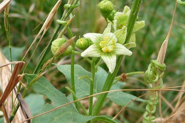 Bryonia dioica - Rotbeerige Zaunrübe  (VI-XI), männliche Pflanze
