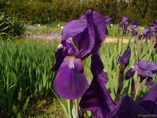 Iris germanica - Deutsche Schwertlilie    V-VI