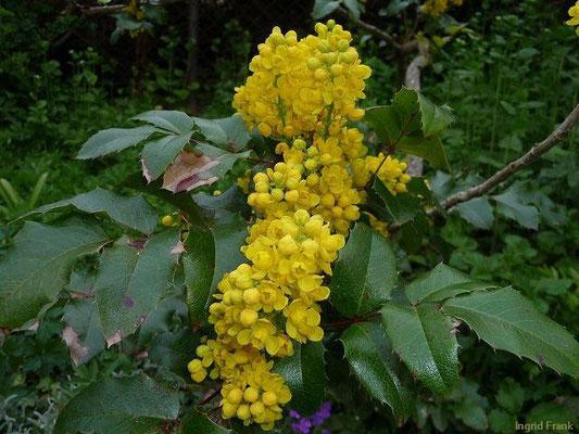 30.04.2010-Mahonia aquifolium - Mahonie