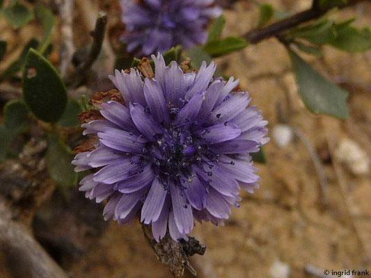 Globularia alypum - Strauchige Kugelblume    (Mittelmeergebiet)    X-IV