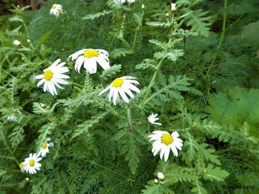 Argyranthemum - Kanarenmargerite