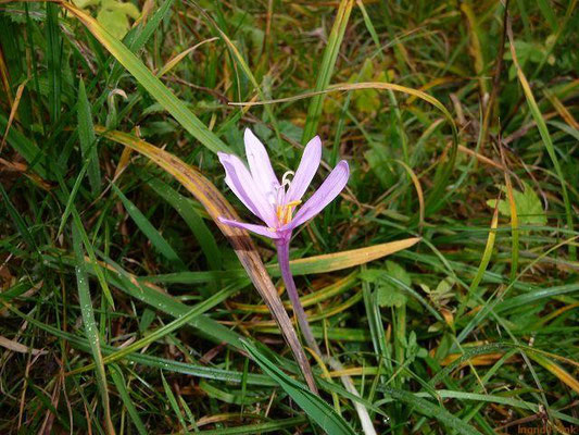 07.11.2010-Colchicum autumnale - Herbstzeitlose