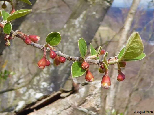 Cotoneaster integerrimus - Gewöhnliche Zwergmispel