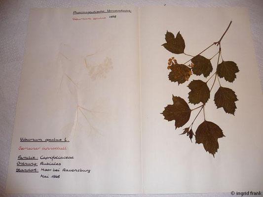 (117) Viburnum opulus - Gemeiner Schneeball