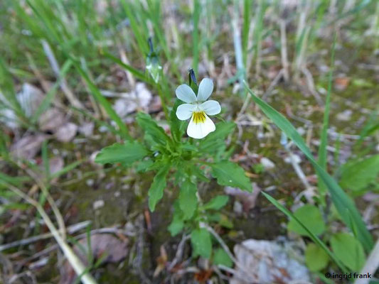 Viola arvensis / Feld-Stiefmütterchen, Acker-Stiefmüterchen